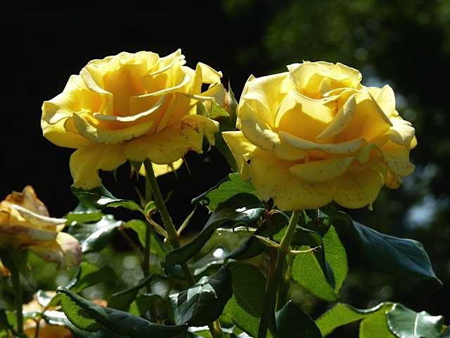 Rose from the Chartwell Golden Rose Walk: A witness to beauty and Churchill's golden wedding anniversary